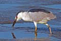 Black-crowned Night Heron With Worm Royalty Free Stock Photo