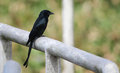 Black cuckoo Stock Photography