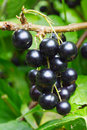 Black currant berries Stock Photography