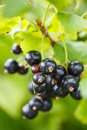 Black currant berries on a bush the of Royalty Free Stock Photos