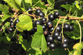Black currant branch Royalty Free Stock Photos