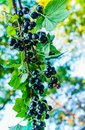 Black currant branch with berries in the garden