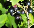 Black currant on a branch in the garden Royalty Free Stock Photo