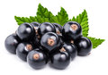 Black currant branch Royalty Free Stock Photo