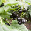 Black currant bunch of in garden Royalty Free Stock Photography