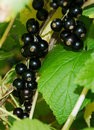 Black currant deliciuos bio in the sunshine Stock Photography