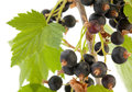 Black currant with leaf Royalty Free Stock Photo