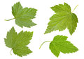 Black currant leaf Royalty Free Stock Photo