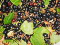 Black currant with leaves Royalty Free Stock Photo