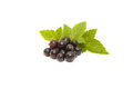 Black currant with leaves on a white background Stock Images