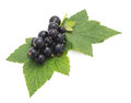 Black currant with leaves. Royalty Free Stock Photo