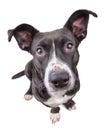 Black cute dog looking at camera Royalty Free Stock Photo