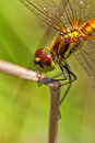 Black darter females macro of the sympetrum danae in shot Stock Image