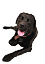 Black dog Royalty Free Stock Photography