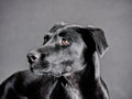 Black dog (72) Royalty Free Stock Images