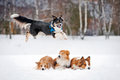 Black dog border collie jumps over other three dogs winter Royalty Free Stock Images