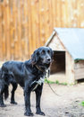 Black dog on chain around kennel Royalty Free Stock Image