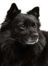 Black dog closeup of a dogs head deutscher spitz Royalty Free Stock Images