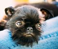 Black Dog Griffon Bruxellois Brussels, Belge Royalty Free Stock Photo