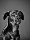 Black dog labrador mixed breed sitting studio shot Royalty Free Stock Photography