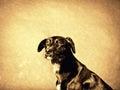 Black dog labrador mixed breed sitting toned image Royalty Free Stock Photography