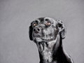 Black dog labrador mixed breed studio shot Royalty Free Stock Photography