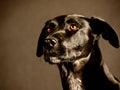 Black dog labrador mixed breed studio shot Stock Image