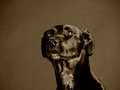 Black dog labrador mixed breed studio shot Stock Photography