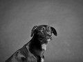 Black dog labrador mixed breed studio shot Royalty Free Stock Photos