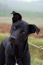 Black dog on a lead bouceron Stock Images