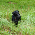 Black dog in long grass, wet in the rain Stock Photo