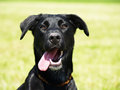 Black dog in the meadow close up labrador mixed breed Royalty Free Stock Photography