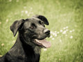 Black dog in the meadow labrador mixed breed Stock Images