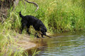 Black dog plays with a stick in the river. Royalty Free Stock Photo