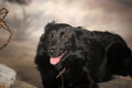 Black dog pooch in the studio Stock Photography