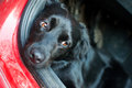 Black dog resting in a red car Royalty Free Stock Photo
