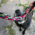 Black dog with rope close up of nose and teeth of biting a having a tug of war his master Royalty Free Stock Photos