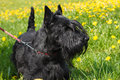 Black dog scottish terrier breed standing on a yellow green blossoms lawn shallow depth of field Stock Image