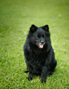 Black dog sitting on grass deutscher spitz Stock Photo