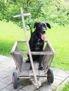 Black dog sitting in a wooden wagon labrador mixed breed Stock Images