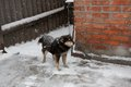 Black dog in snow on chain with a collar the Royalty Free Stock Photo