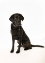 Black dog studio shot of labrador isolated on white Stock Image