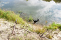 A black dog walks in the river. Royalty Free Stock Photo