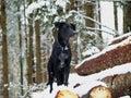 Black Dog (10)