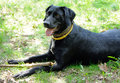Black dog in yellow anti flea dog collar playing with a stick the springtime Stock Photos