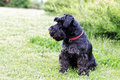 Black dog Zwergschnauzer on the garden Royalty Free Stock Photo