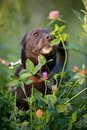 The black doggie smells a clover flower small not purebred dog on walk not purebred mongrel Royalty Free Stock Images