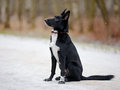Black doggie on walk dog snow not purebred dog the large not purebred mongrel Stock Photo