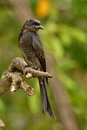 Black drongo the dicrurus macrocercus is a small asian passerine bird of the family dicruridae it is a common resident Royalty Free Stock Photo