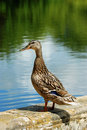 Black duck closeup Stock Image
